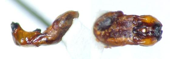 Phyllophaga glaberrima - male