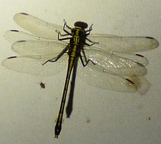 dragon fly - Dromogomphus spinosus