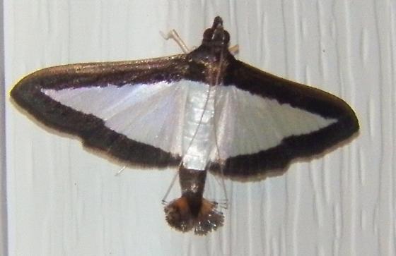 Melonworm Moth  - Diaphania hyalinata