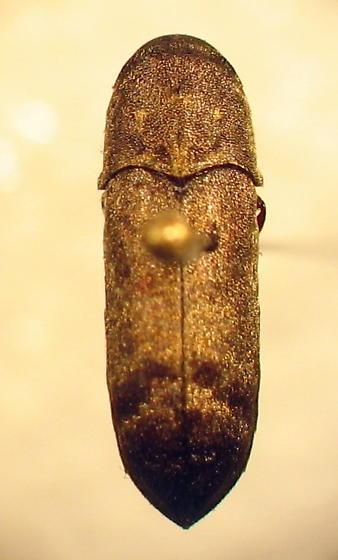 Dendrocharis? - Dendrocharis flavicornis