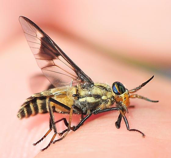 Chrysopsinae - Deer Flies Chrysops callidus - Chrysops callidus