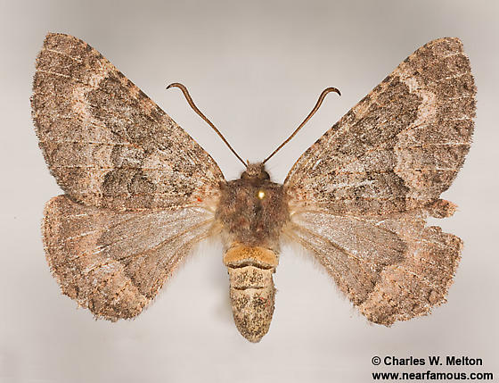 Anurapteryx crenulata 7657 - Anurapteryx crenulata