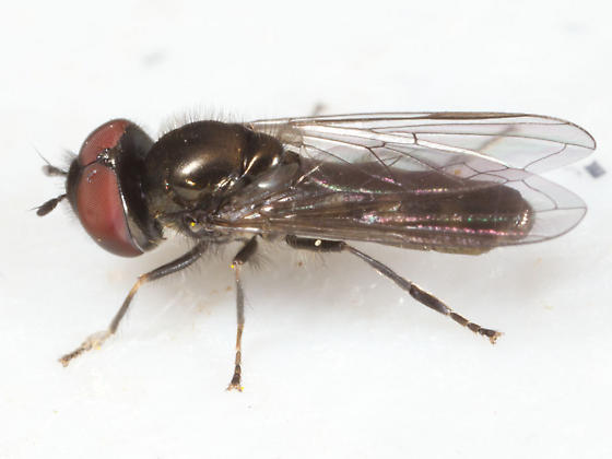 Black Fly with Red Eyes - Platycheirus thylax - male