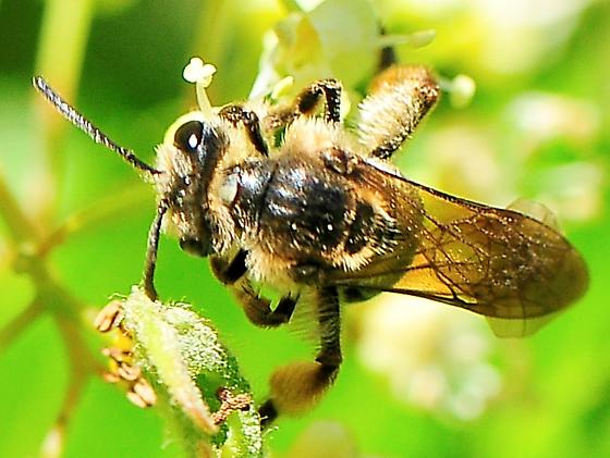 Anthophila (Apoidea) - Bees - Andrena crataegi