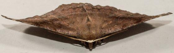 Eutrapela clemataria