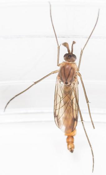 Dipteran - Keroplatus