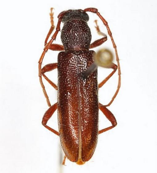 Gymnopsyra magnipunctata (Knull) - Gymnopsyra magnipunctata