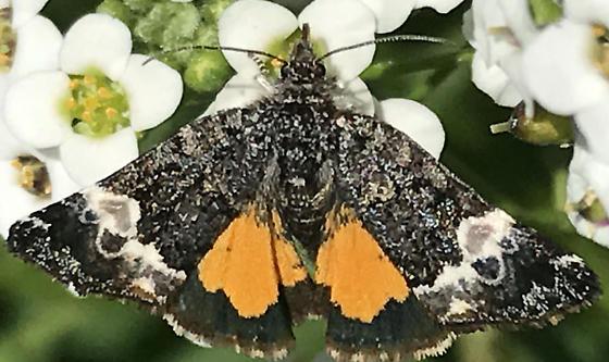 Annaphila Astrologa day flying moth feeding at White Alyssum flowers in Ventura, CA - Annaphila astrologa