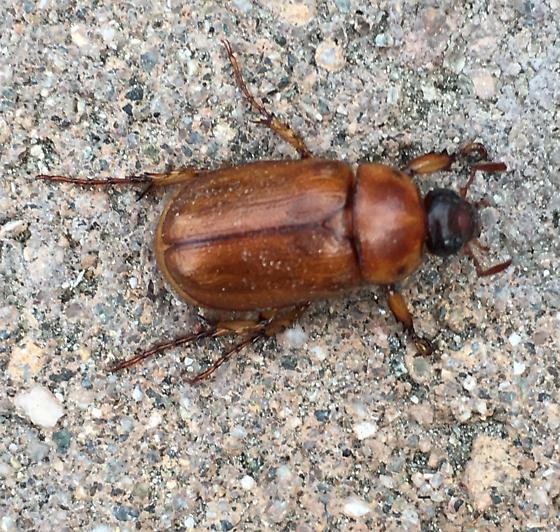 Dead Beetle in my car - Cyclocephala