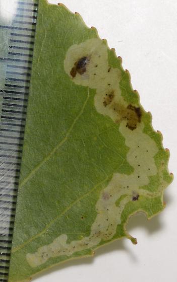 mine in Populus deltoides - Aulagromyza populicola