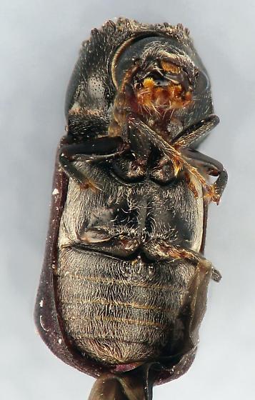 Bostrich - Xylopsocus capucinus
