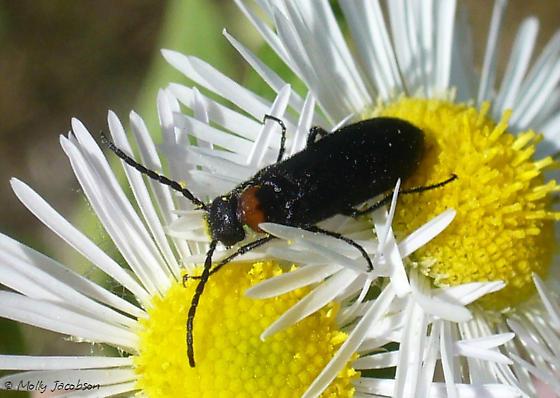 beetle - Nemognatha nemorensis