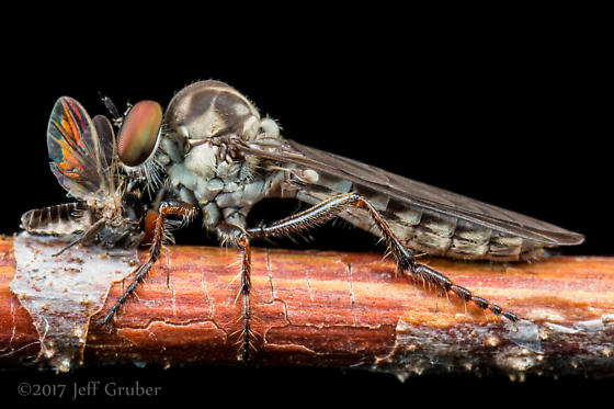 Asilid - Holcocephala calva