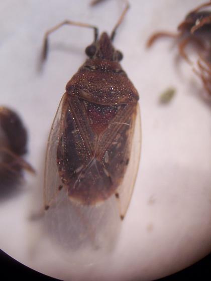 hemipteran  - Kleidocerys resedae