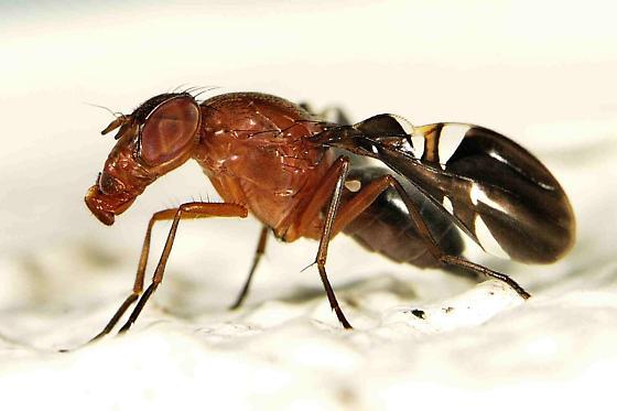 Tephritidae ? - Delphinia picta - female
