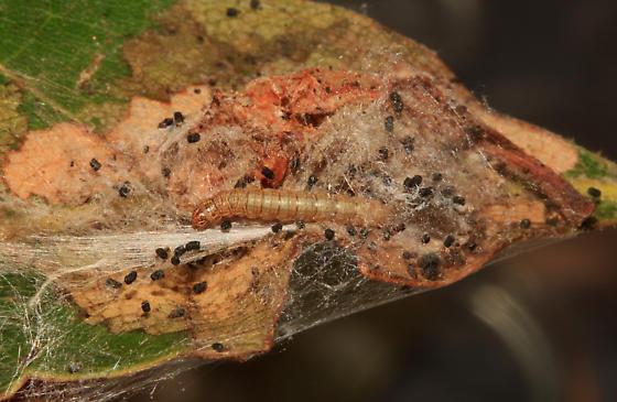 Pyralidae, Double-humped Pococera, larva on Oak - Pococera expandens