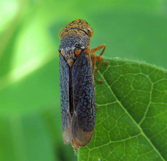 Rice Center find - Oncometopia orbona