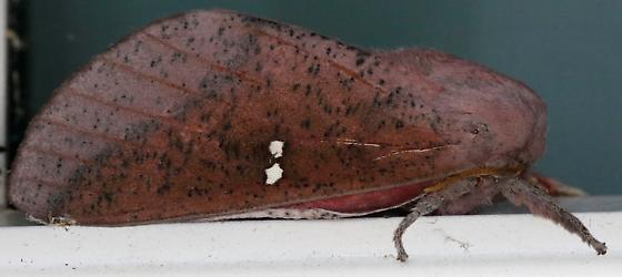 Sphingicampa bicolor - Honey Locust Moth - Sphingicampa bicolor