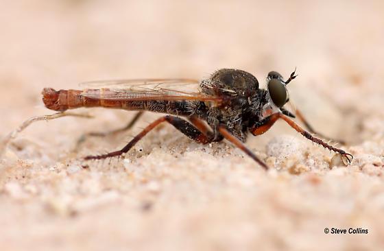 Proctacanthella - Proctacanthella cacopiloga - male