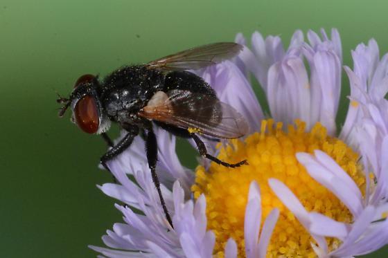 Small muscoid fly on aster - Gymnoclytia