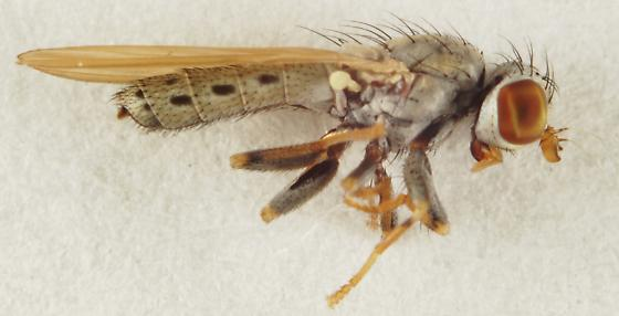 Unknown Diptera - Parochthiphila