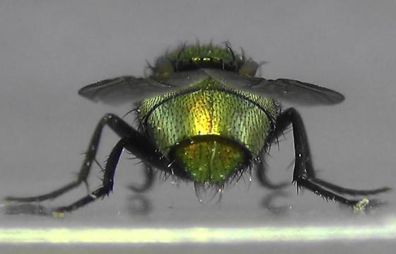 Shiny Green Monster (abdomen rear) - Lucilia sericata - female