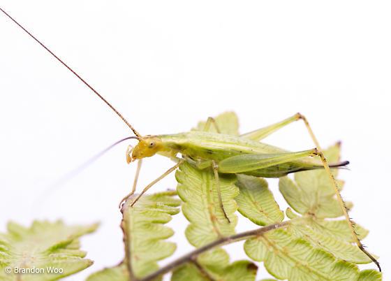 Oecanthus nigricornis - female