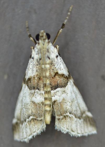 Moth - Tallula atrifascialis