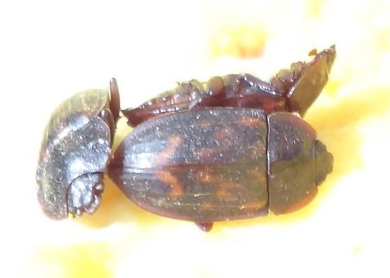 fungivorous beetle - Phenolia grossa