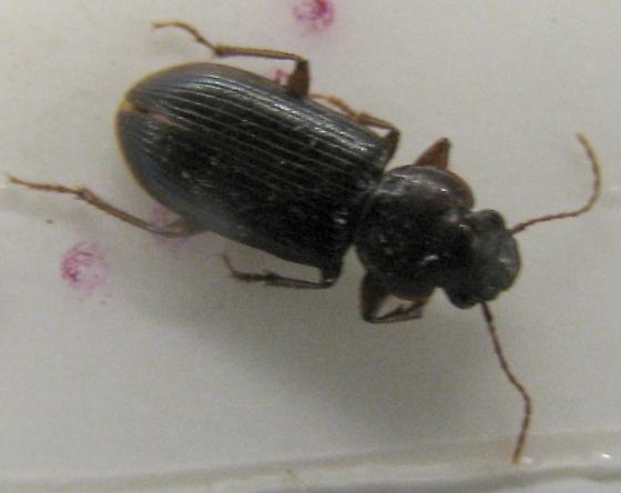 Beetle - Discoderus