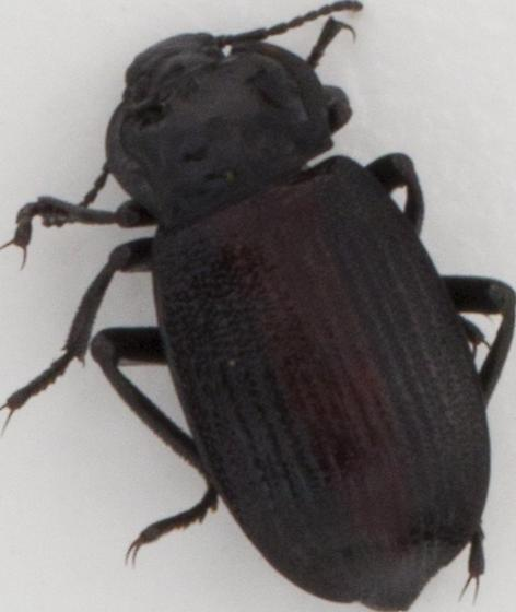 Id for this beetle, please - Eleodes suturalis