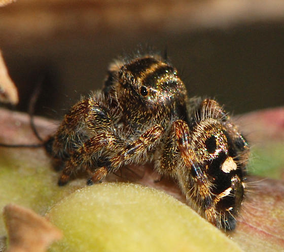 jumping spider with prey - Phidippus audax
