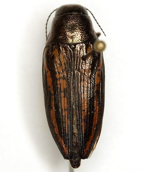 Buprestis lineata Fabricius - Buprestis lineata