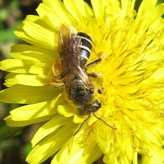 Apoidea 6-05-10 02a - Halictus rubicundus - female