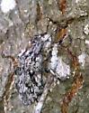 oak tree visitor - Brochymena