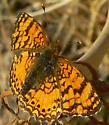 Crescent - Phyciodes mylitta - male