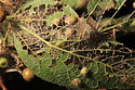 Sugarberry leaf damage by Sciota celtidella caterpillar