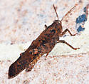 Brown Grasshopper - Dissosteira carolina - male