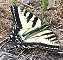 Western swallowtail - Papilio rutulus - male