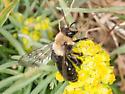 Andrena - Andrena carlini - female