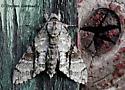 Ash Sphinx at Lights - Manduca jasminearum