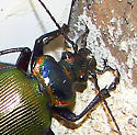 Fiery Searcher - Calosoma scrutator
