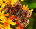 Northern Metalmark - Calephelis borealis
