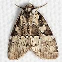 Marbled-green Leuconycta - Hodges#9066 - Leuconycta lepidula