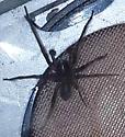 Unknown Spider dorsal view - Amaurobius ferox - male
