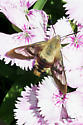 fuzzy 4 winged nectar sipper - Hemaris thysbe