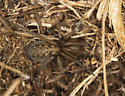 hobo and egg sac - Eratigena agrestis - female