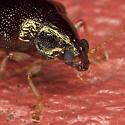 Beetle_IMG_0175 - Rhabdopterus