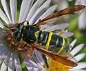 Hover Fly - Spilomyia sayi