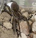 Wolf Spider with egg sac - Tigrosa helluo - female